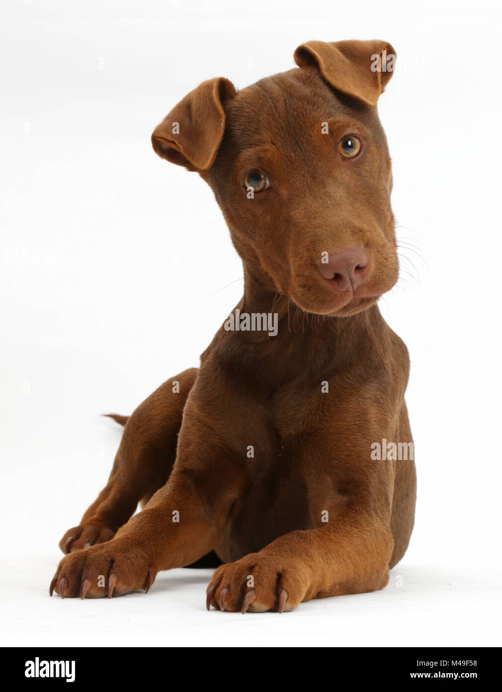 Patterdale terrier dog puppy, Korka, age 4 months. - Stock Image