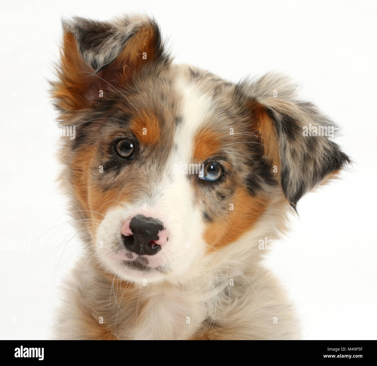Tricolour merle Collie puppy, Indie, age 10 weeks. - Stock Image