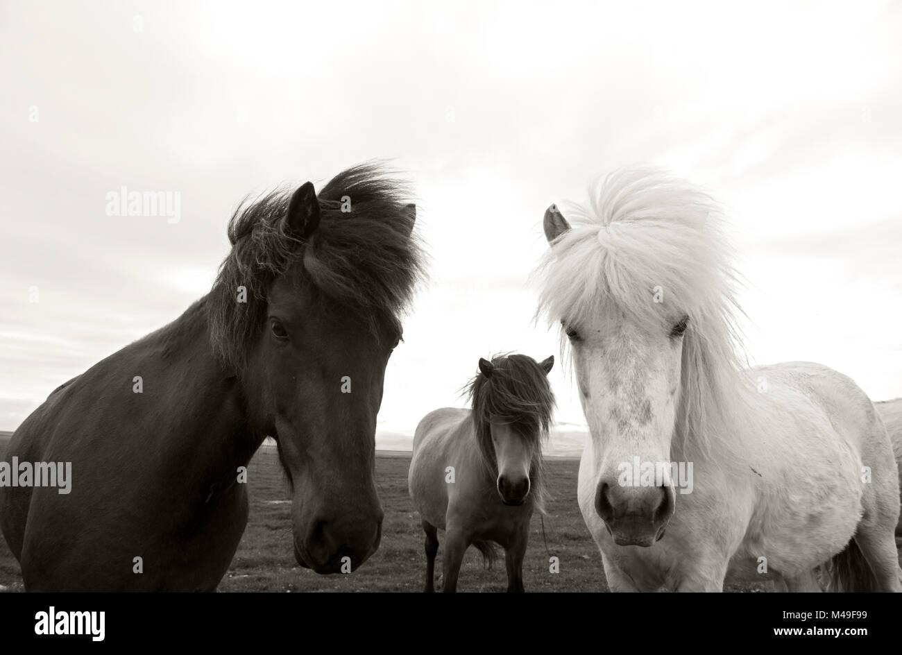 Group of Icelandic horses, Hofn, Iceland, June. Stock Photo