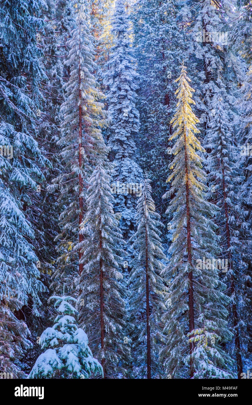 First rays of golden sunshine hit Giant Sequoias (Sequoiadendron giganteum) covered in a winter blanket of snow - Stock Image