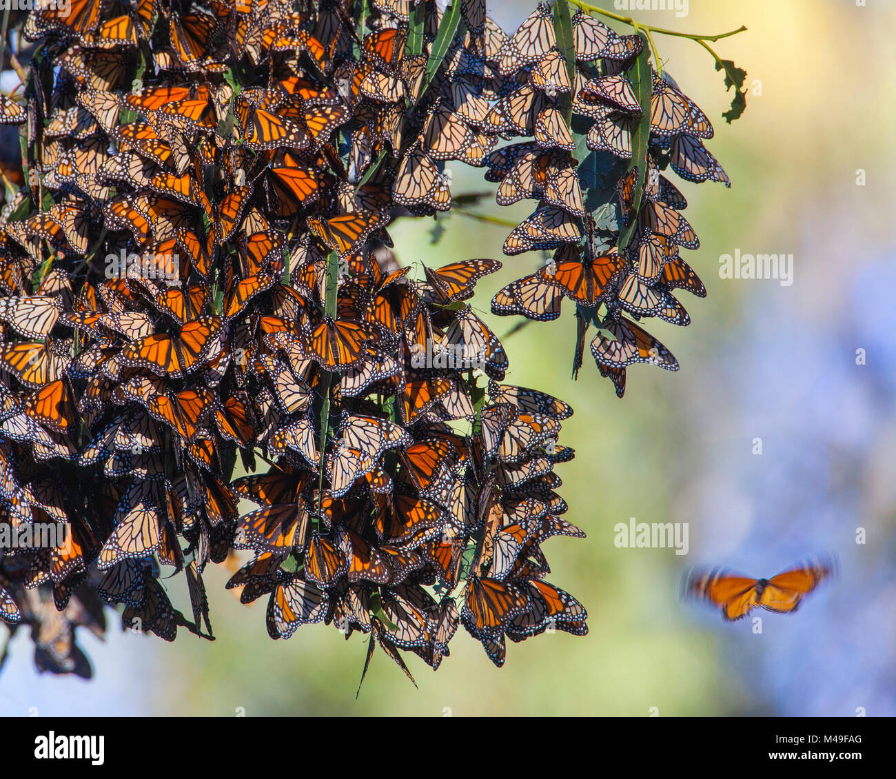 Monarch butterflies (Danaus plexippus) over winter on Eucalyptus and Monterey Cypress trees near Pismo Beach, San - Stock Image