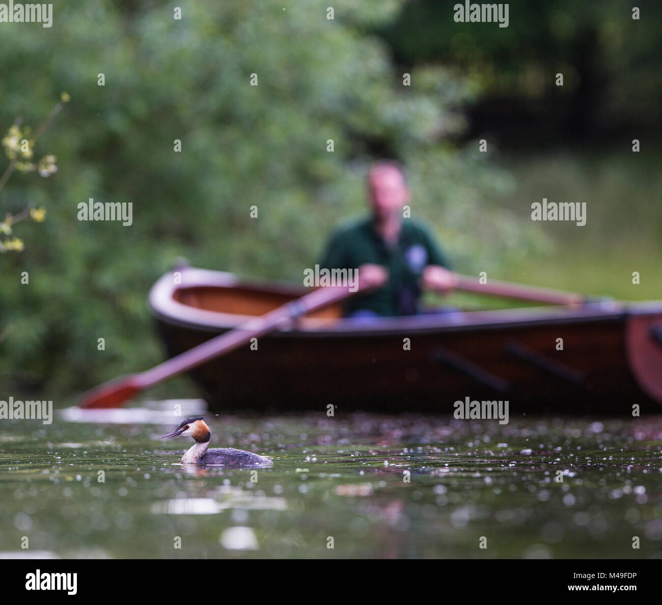 Great crested grebe (Podiceps cristatus) with rower in the background, Hampstead Heath, London, England, UK. June. - Stock Image