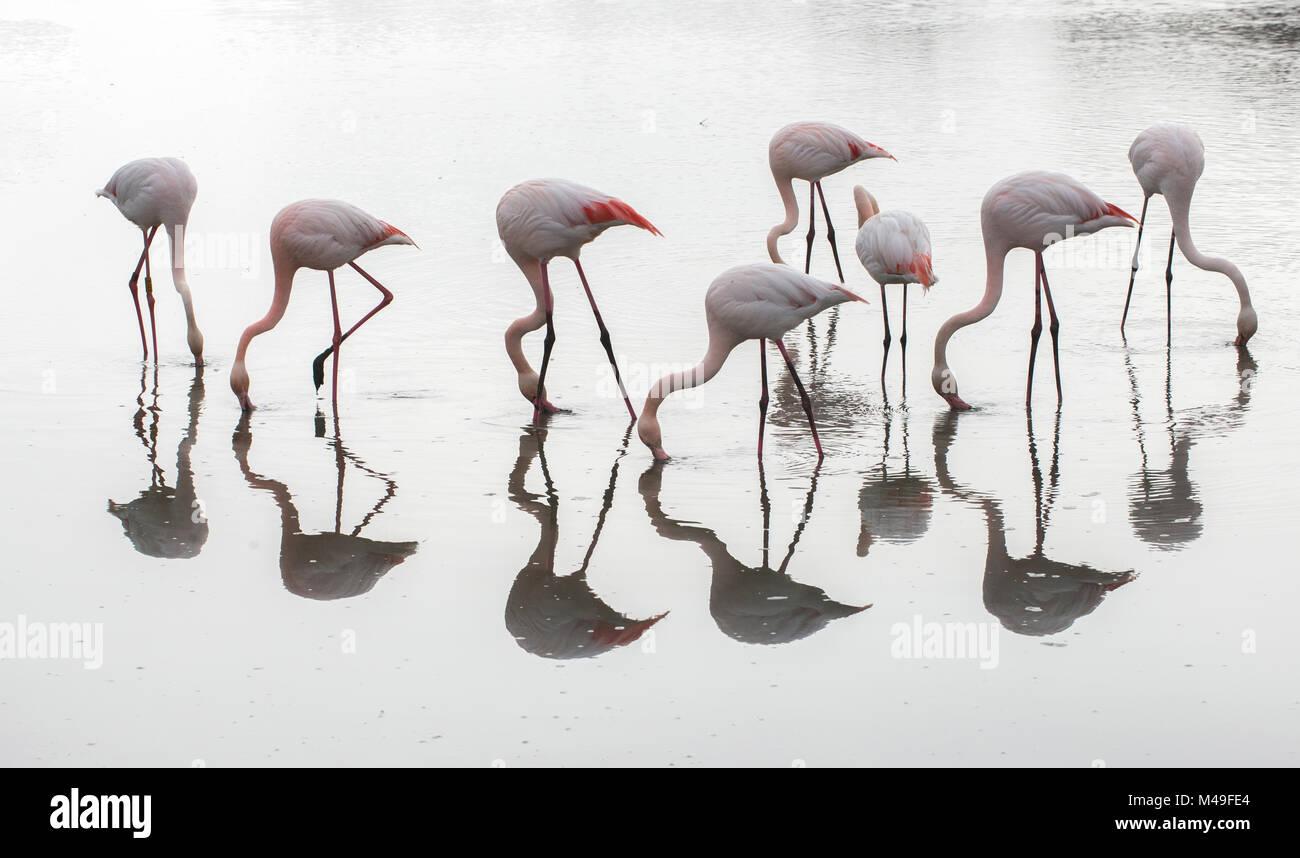 Greater flamingos (Phoenicopterus ruber) flock reflected, feeding in water, Pont de Gau Ornithological Park, Camargue, - Stock Image
