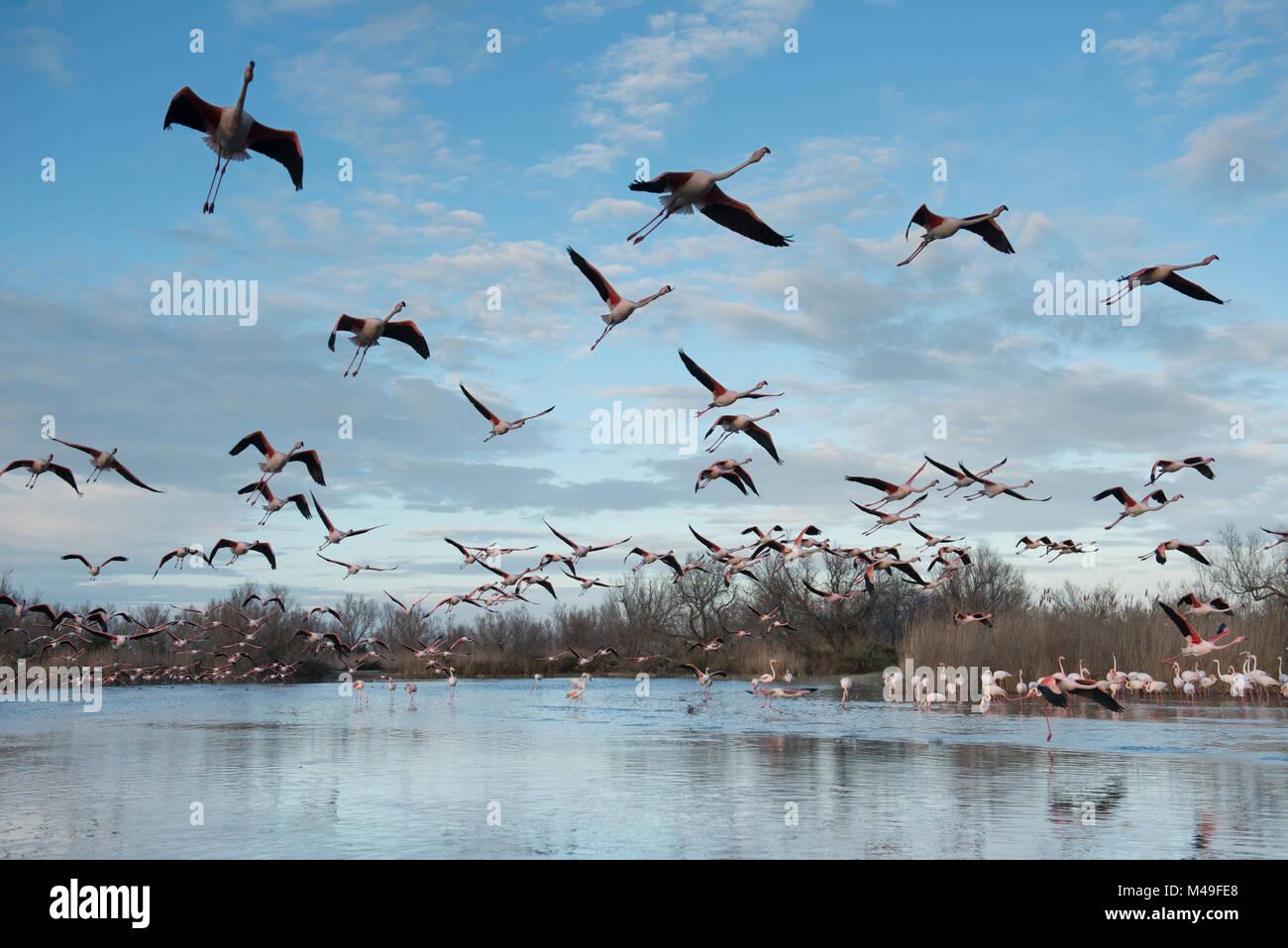 Greater flamingo (Phoenicopterus ruber) flock in flight, Pont de Gau Ornithological Park, Camargue, France, March - Stock Image