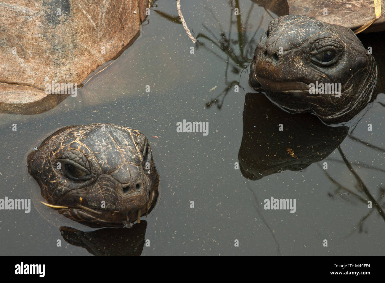 Aldabra Giant Tortoises (Aldabrachelys gigantea) resting in a pool to keep cool, Grand Terre, Natural World Heritage - Stock Image