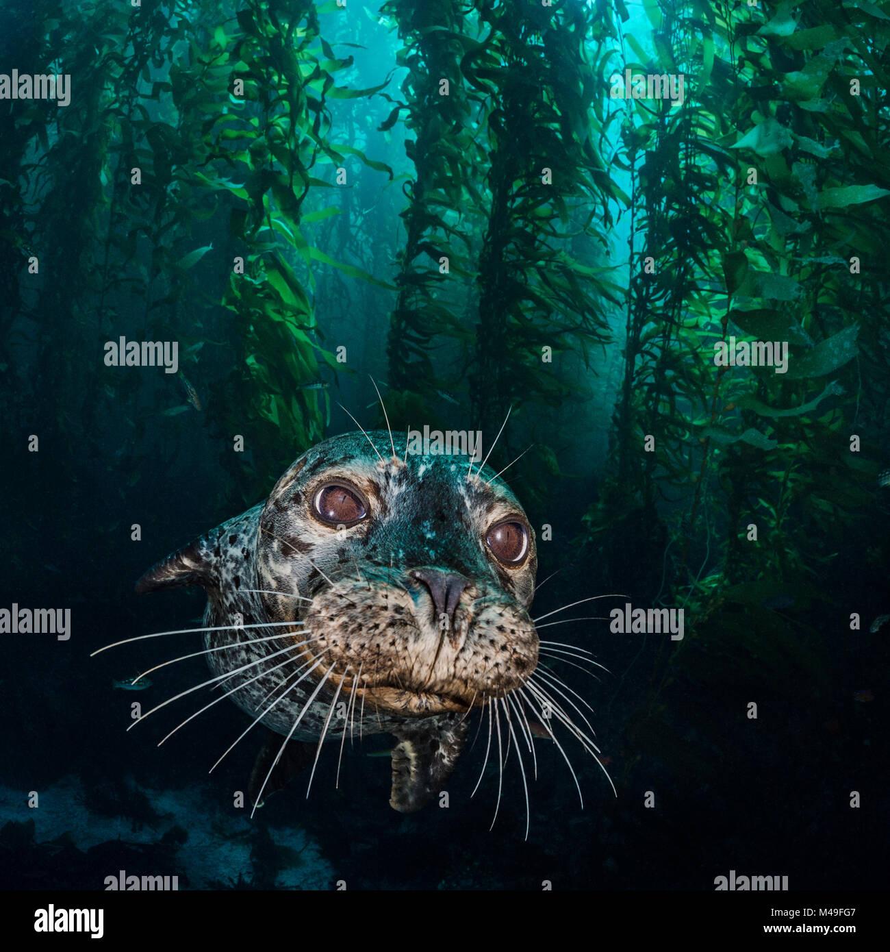 Harbour seal (Phoca vitulina) in the kelp forest (Macrocystis pyrifera). Santa Barbara Island, Channel Islands. - Stock Image