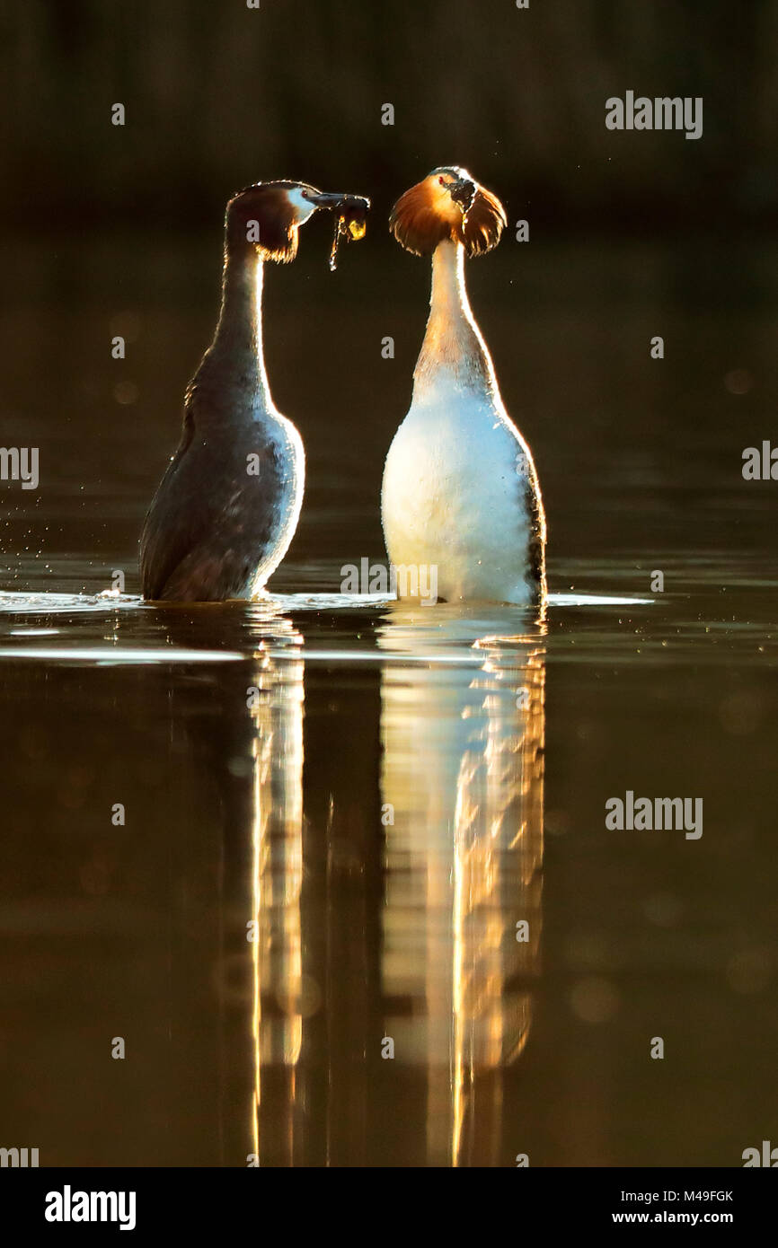 Great crested grebes (Podiceps cristatus) pair in courtship 'weed dance' in morning light, Wales, UK, February. - Stock Image