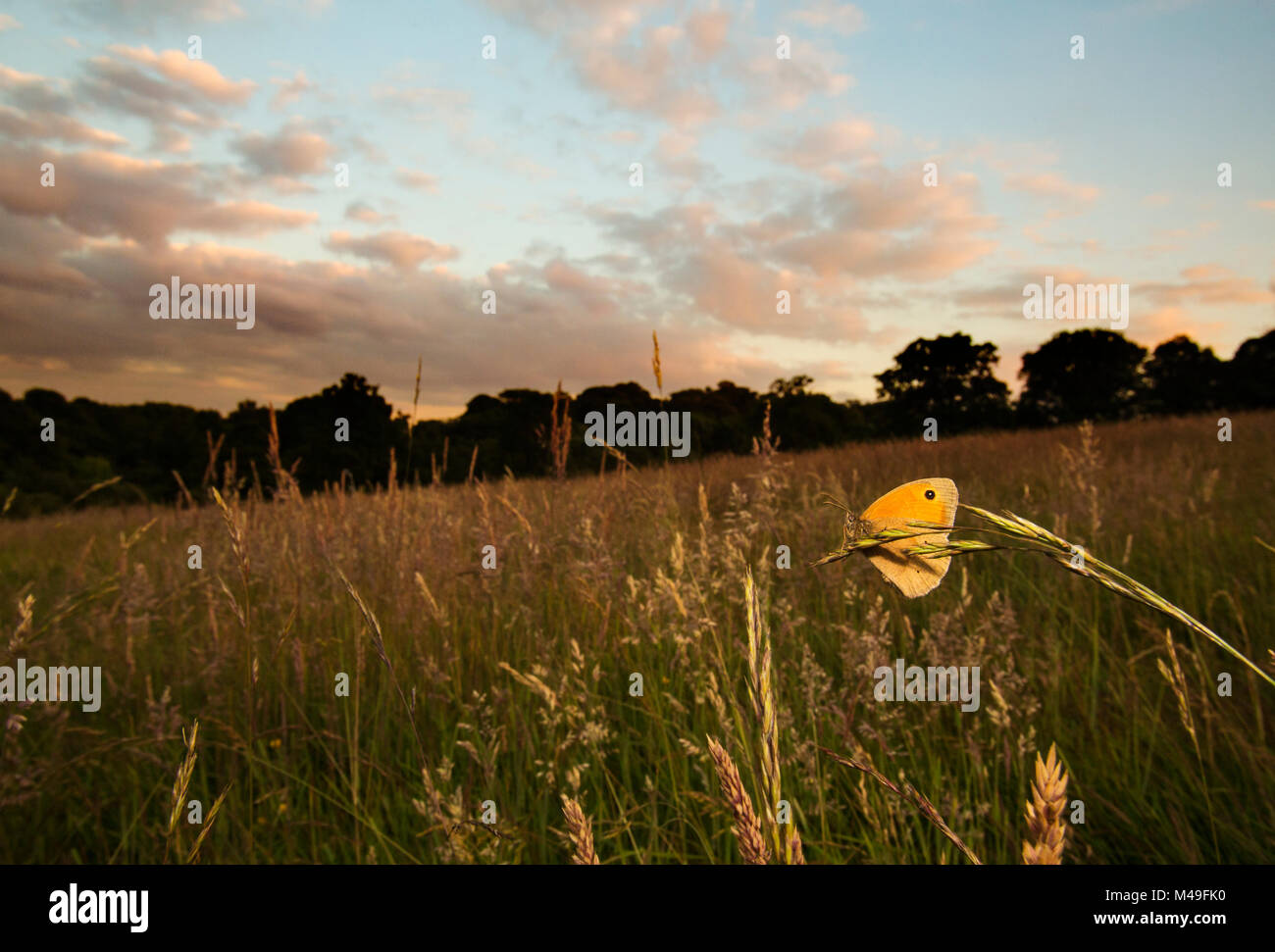 Meadow brown (Maniola jurtina) resting on grass in Cohen's Field, Hampstead Heath, London, England, UK, June. - Stock Image