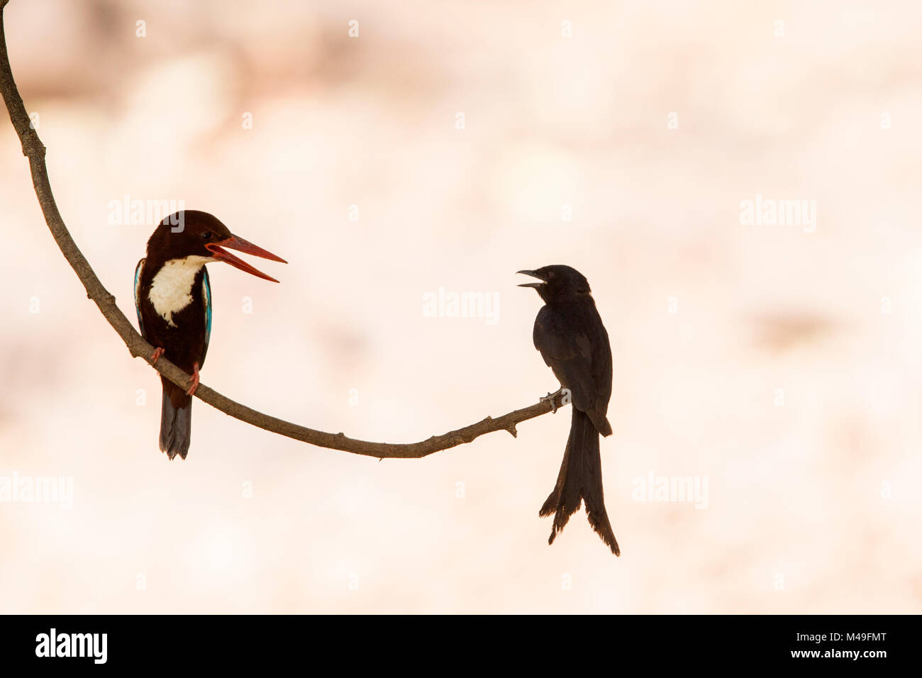 White-throated kingfisher (Halcyon smyrnensis) with Black drongo (Dicrurus macrocercus) Ranthambore National Park, - Stock Image
