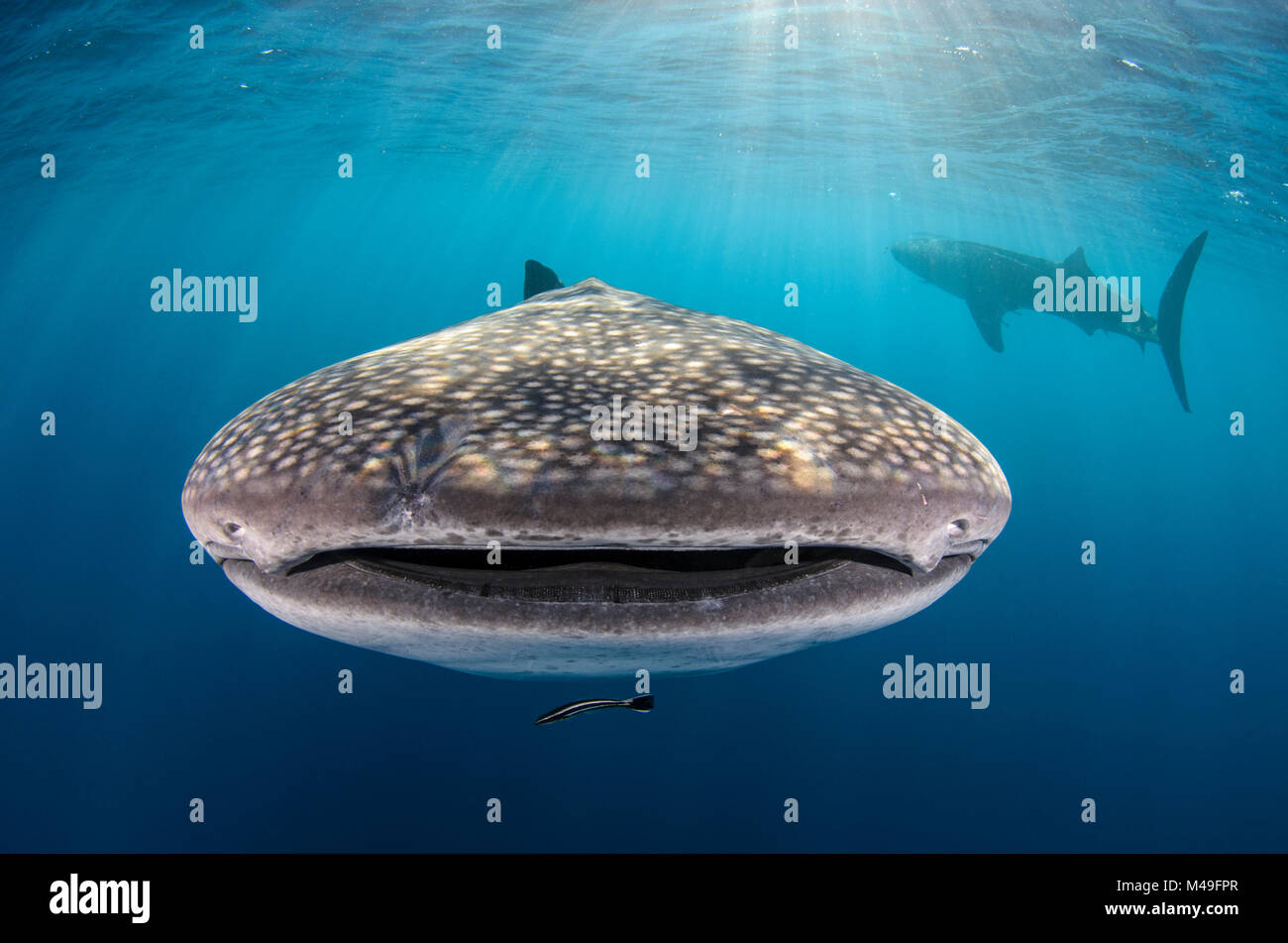 Whale shark (Rhincodon typus) front view portrait, Cenderawasih Bay, West Papua. Indonesia. - Stock Image