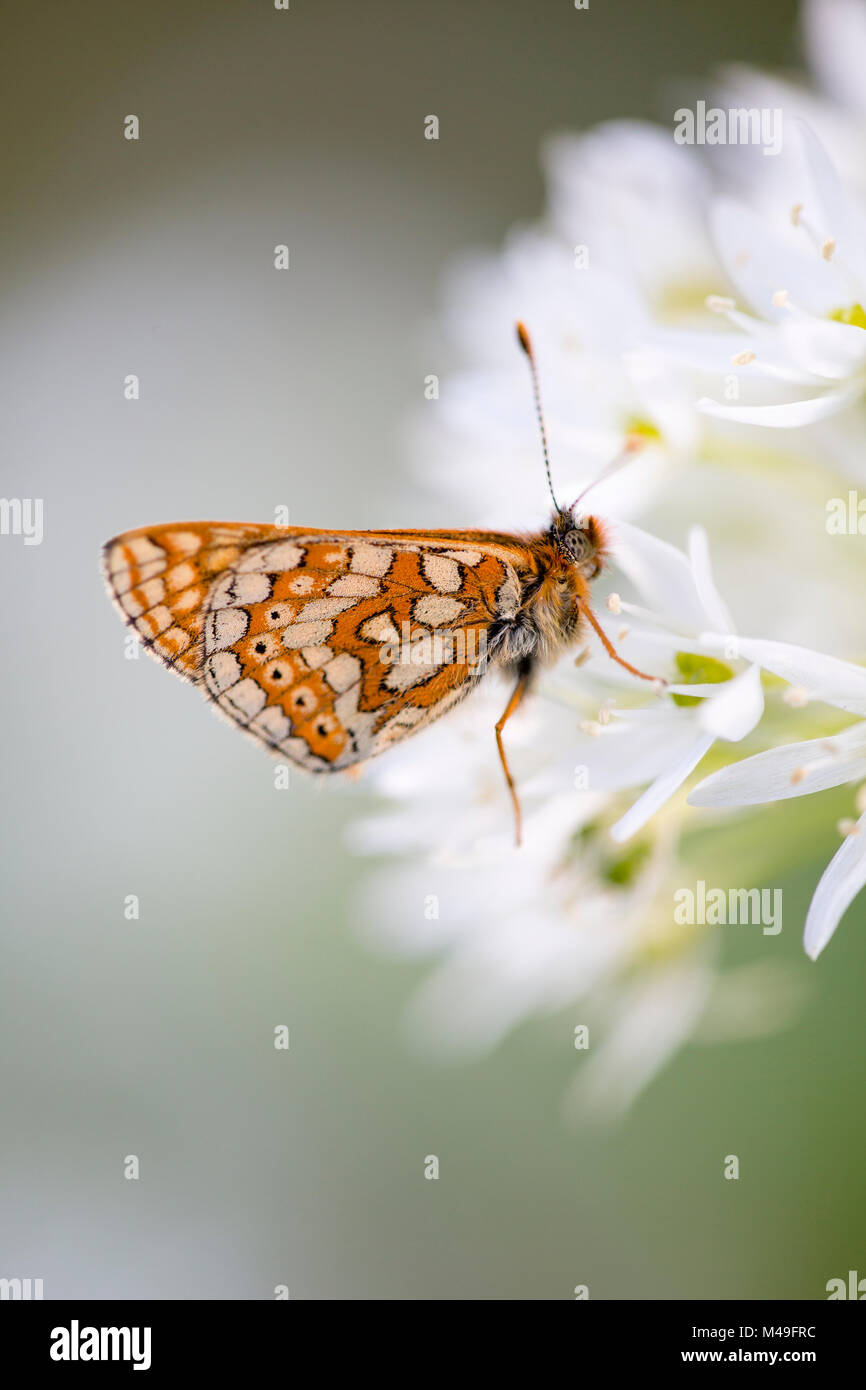 Marsh fritillary butterfly (Euphydryas aurinia) feeding on Wild garlic / Ramsons (Allium ursinum) at Strawberry - Stock Image