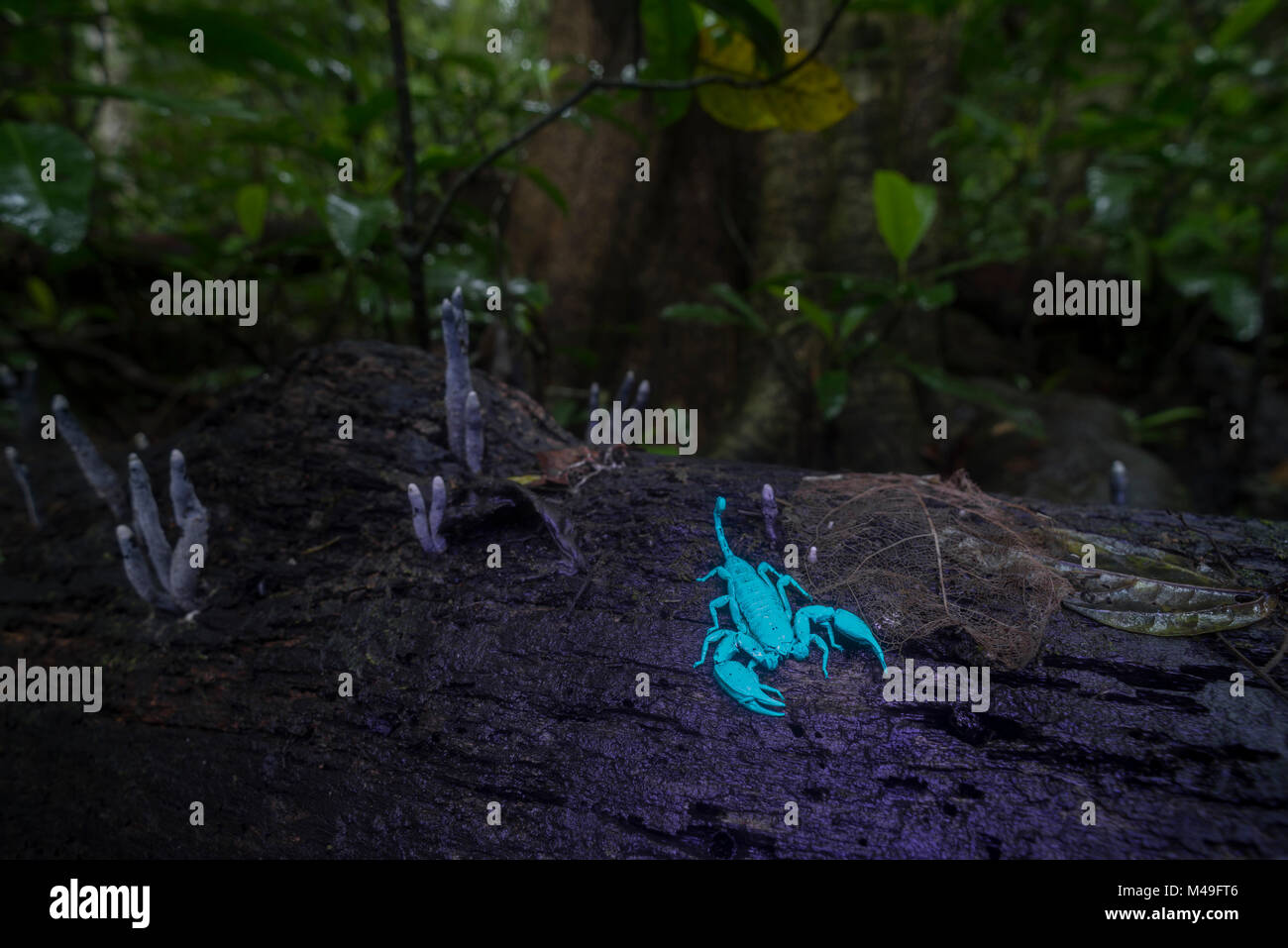 Rainforest scorpion glowing blue in UV light at night.  Queensland, Australia. - Stock Image