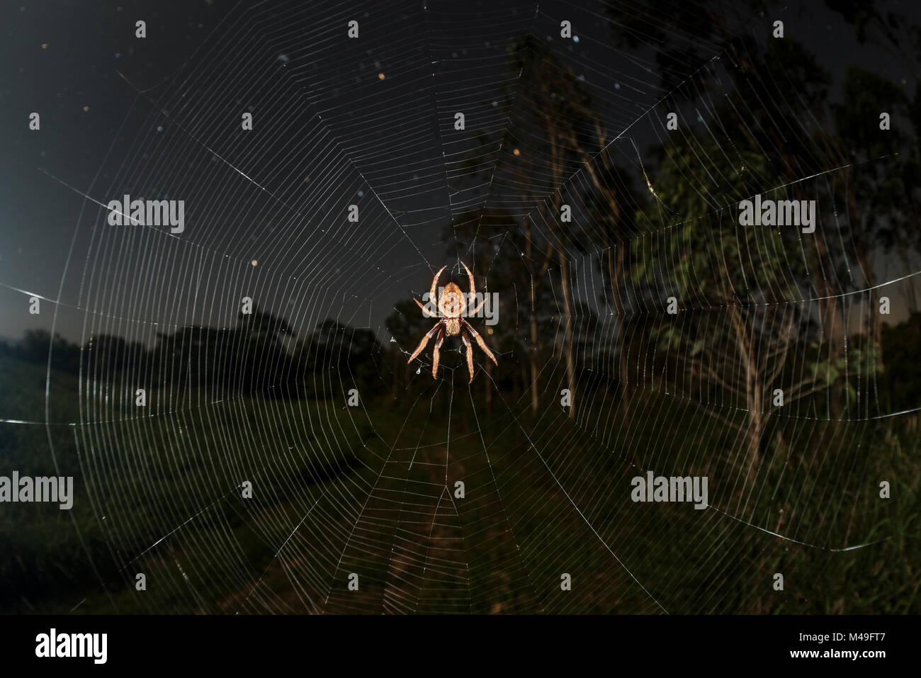 Orb weaver spider (Araneidae) at night with starry night, Queensland, Australia. - Stock Image