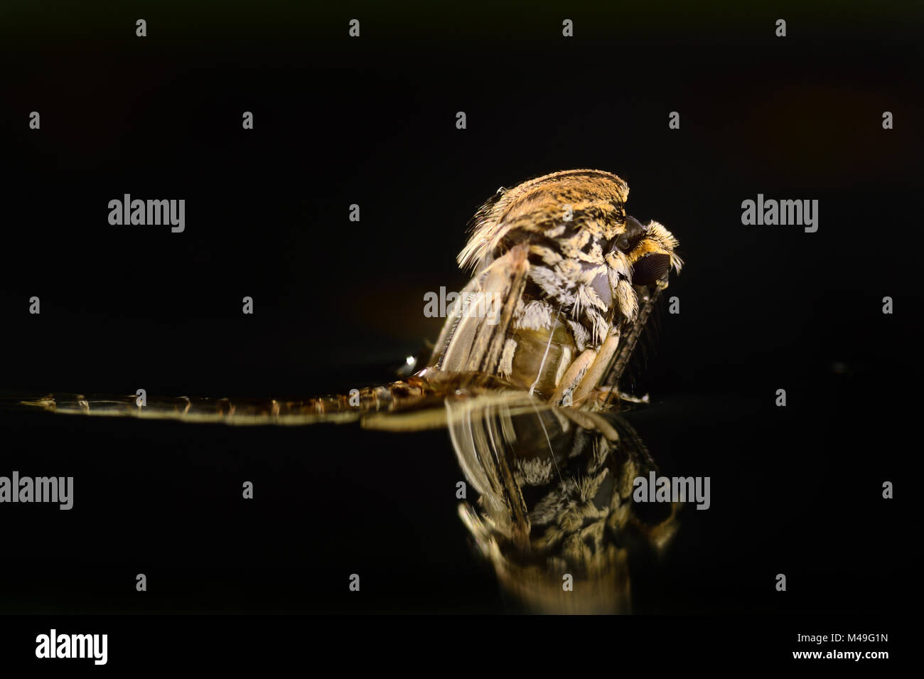 Mosquito (Aedes rusticus / Ochlerotatus rusticus) adult emerging through water surface from pupa. Weser, Solling, - Stock Image