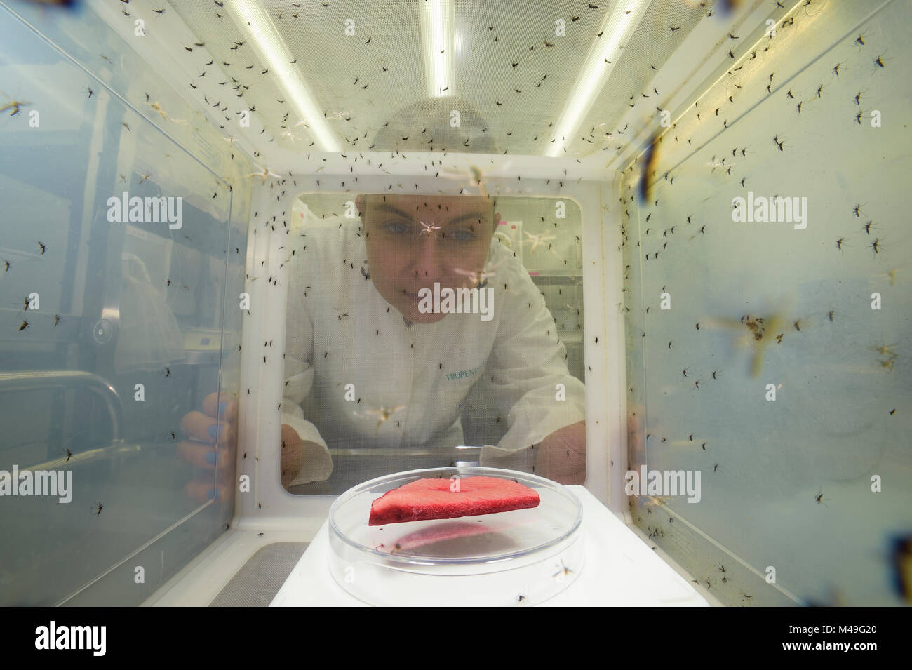 Scientist looking at breeding cage for Yellow fever mosquito (Aedes aegypti). Bernhard Nocht Institute for Tropical - Stock Image