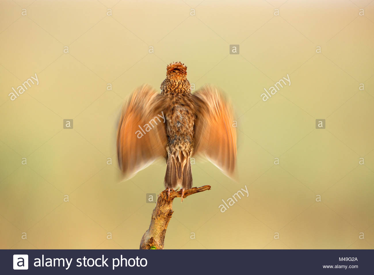Rufous naped Lark (Mirafra africana) male courtship display, Rietvlei Nature Reserve, Gauteng Province, South Africa, Stock Photo