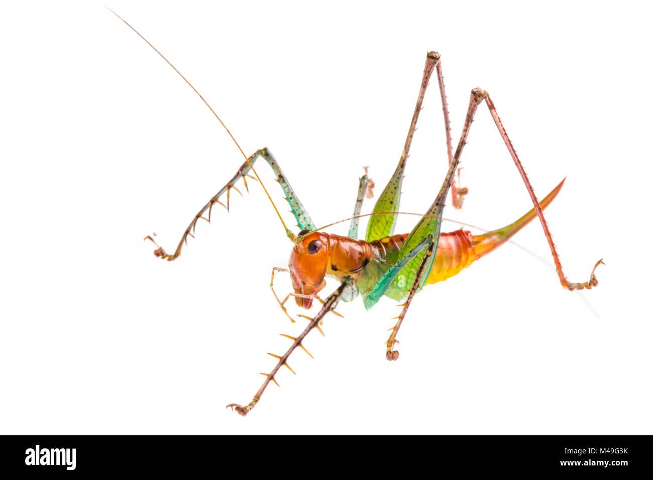 Spiny predatory katydid (Listroscelis sp) photographed on a white background in mobile field studio, Osa Peninsula, - Stock Image