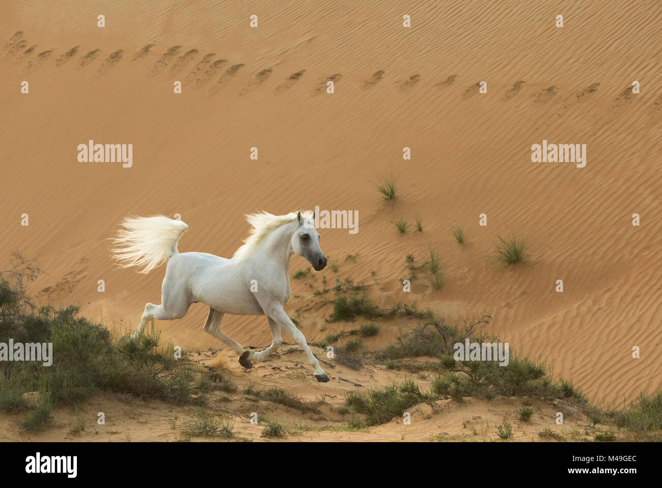 Grey Arabian stallion running in desert dunes near Dubai, United Arab Emirates. - Stock Image