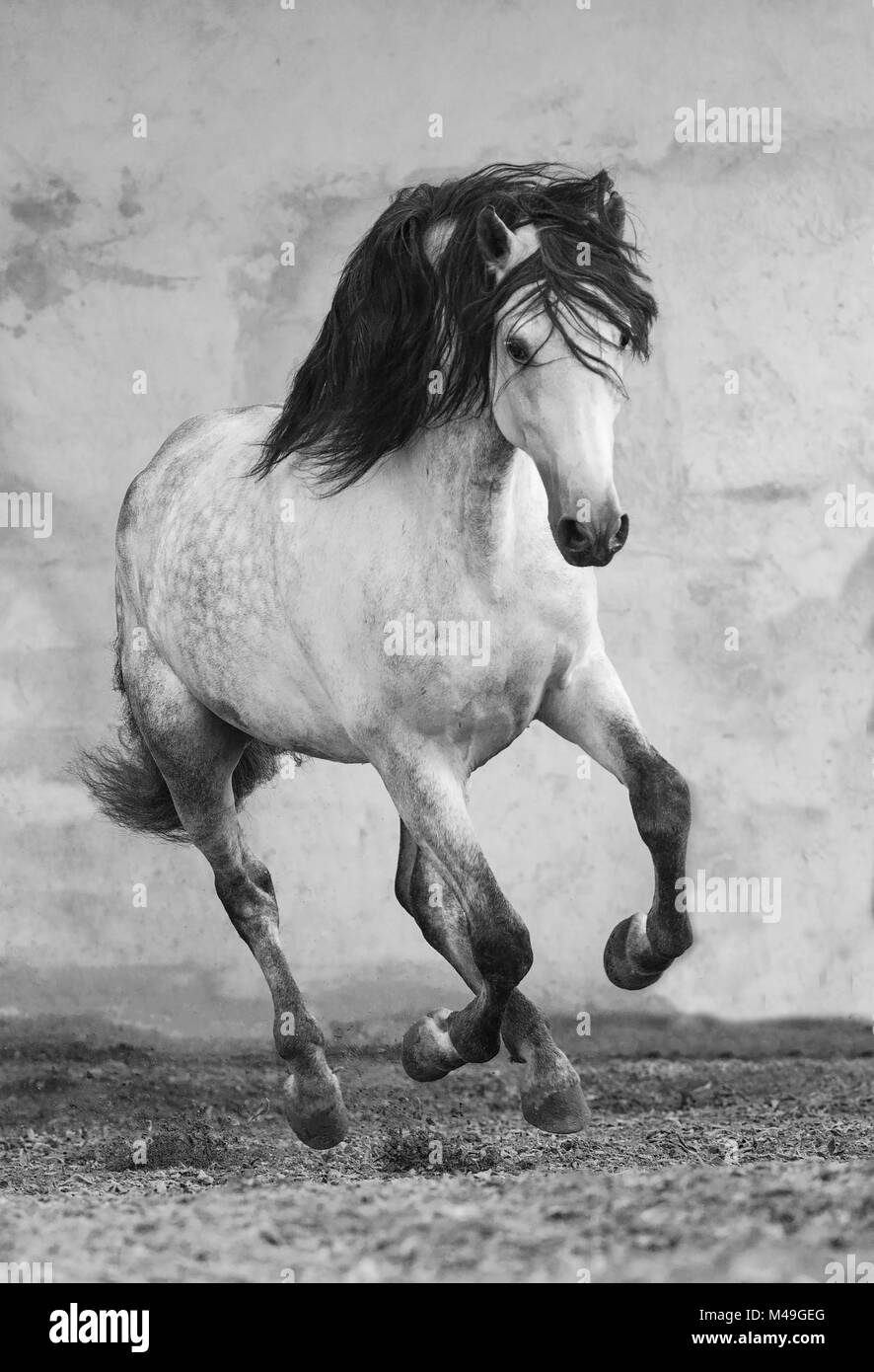 Grey Andalusian stallion running in arena in Northern France, Europe. March. - Stock Image