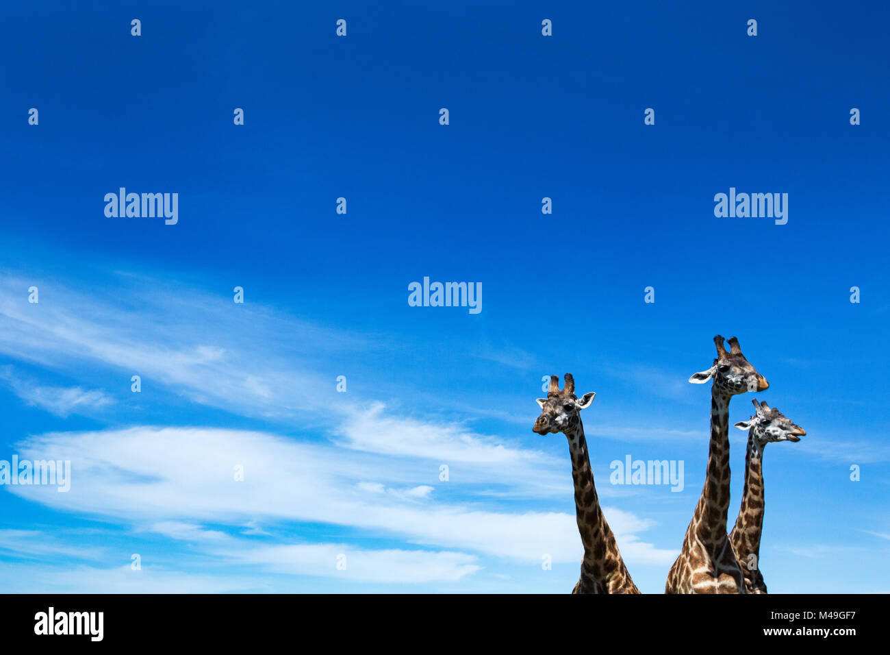 Maasai giraffe (Giraffa camelopardalis tippelskirchi) three standing together, heads and necks against sky. Maasai - Stock Image