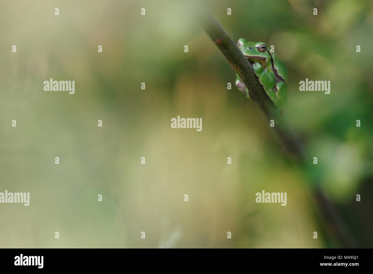 Common tree frog (Hyla arborea) resting on branch in day, Burgundy, France, April. Stock Photo