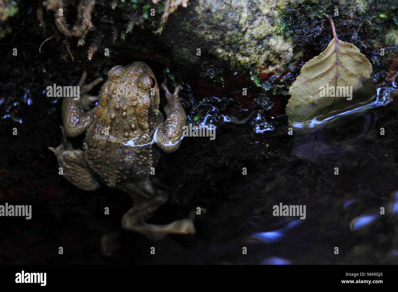 European toad (Bufo bufo) Massane River, Alberes Mountains, Pyrenees, France, September. - Stock Image
