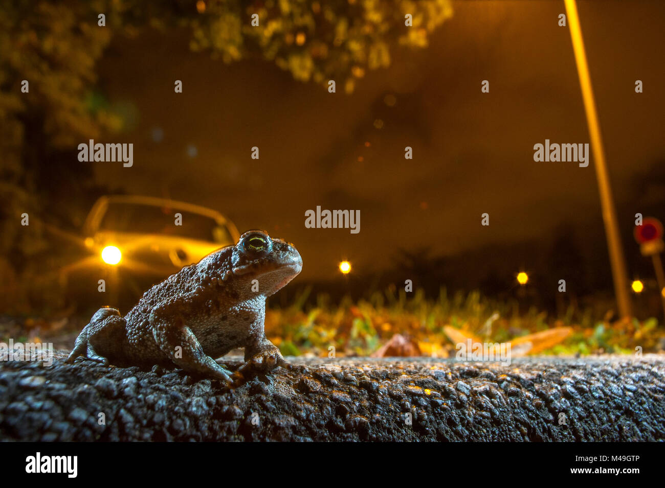 Natterjack (Epidalea calamita) on road at night with car behind, France, September. - Stock Image