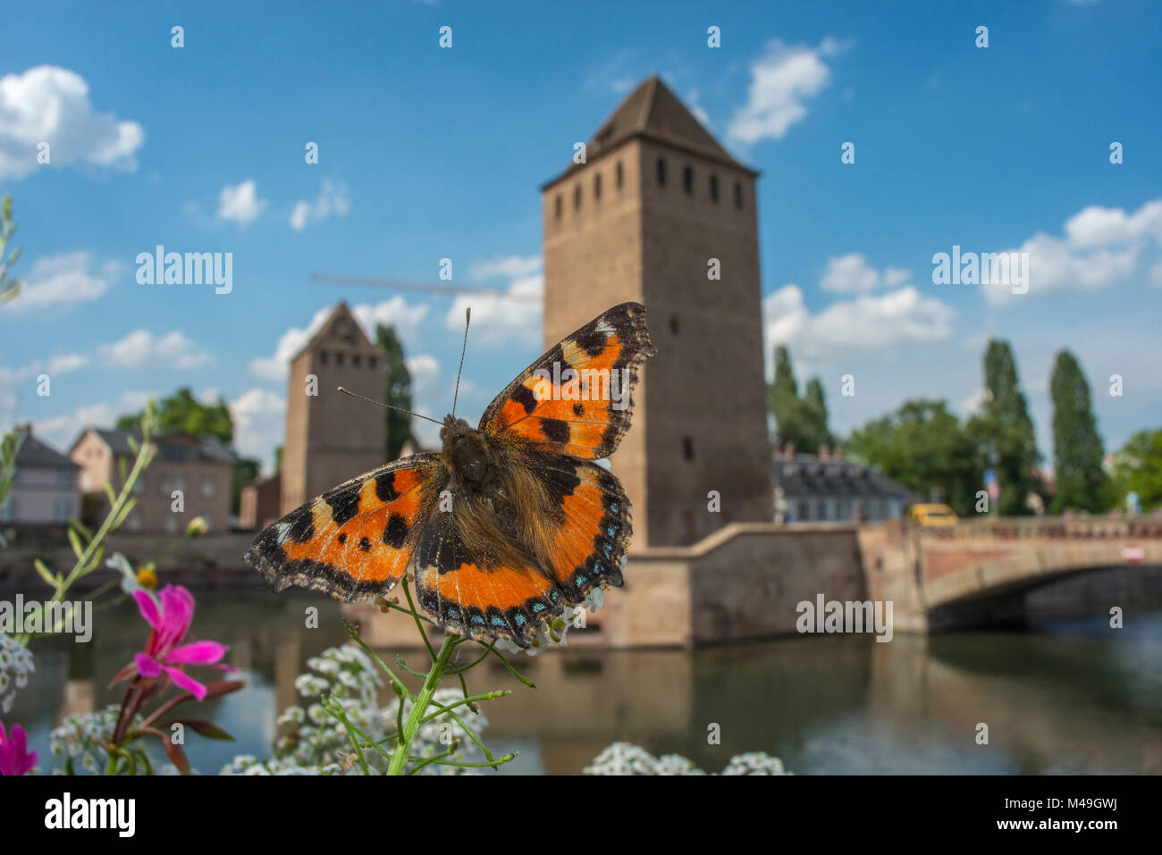 Tortoisehell butterfly (Aglais urticae) with  Ponts Couverts in distance,  Strasbourg, France. June 2014. - Stock Image