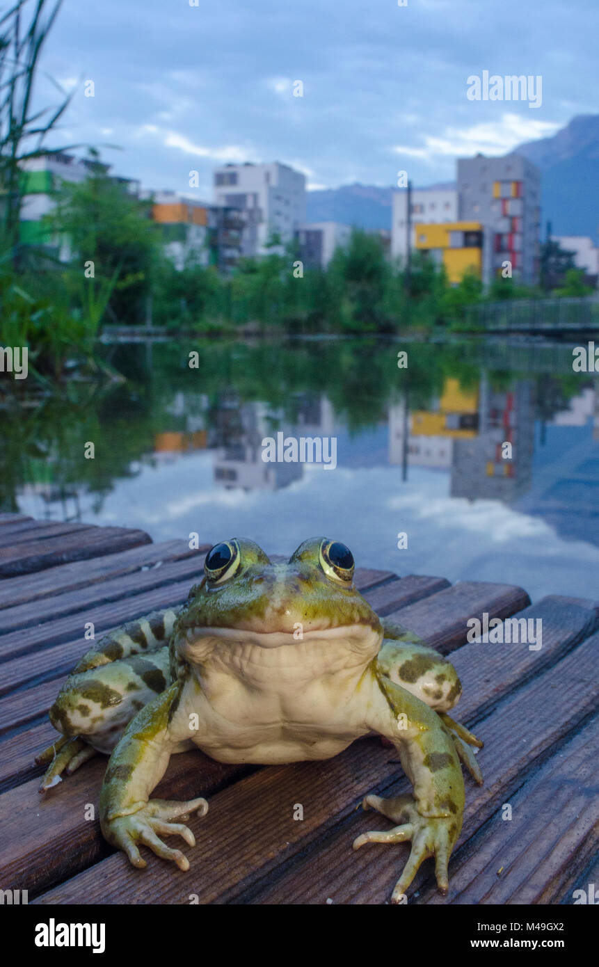 European edible frog (Rana esculenta) in urban park, next to pond with buildings in distance, Grenoble, France, - Stock Image