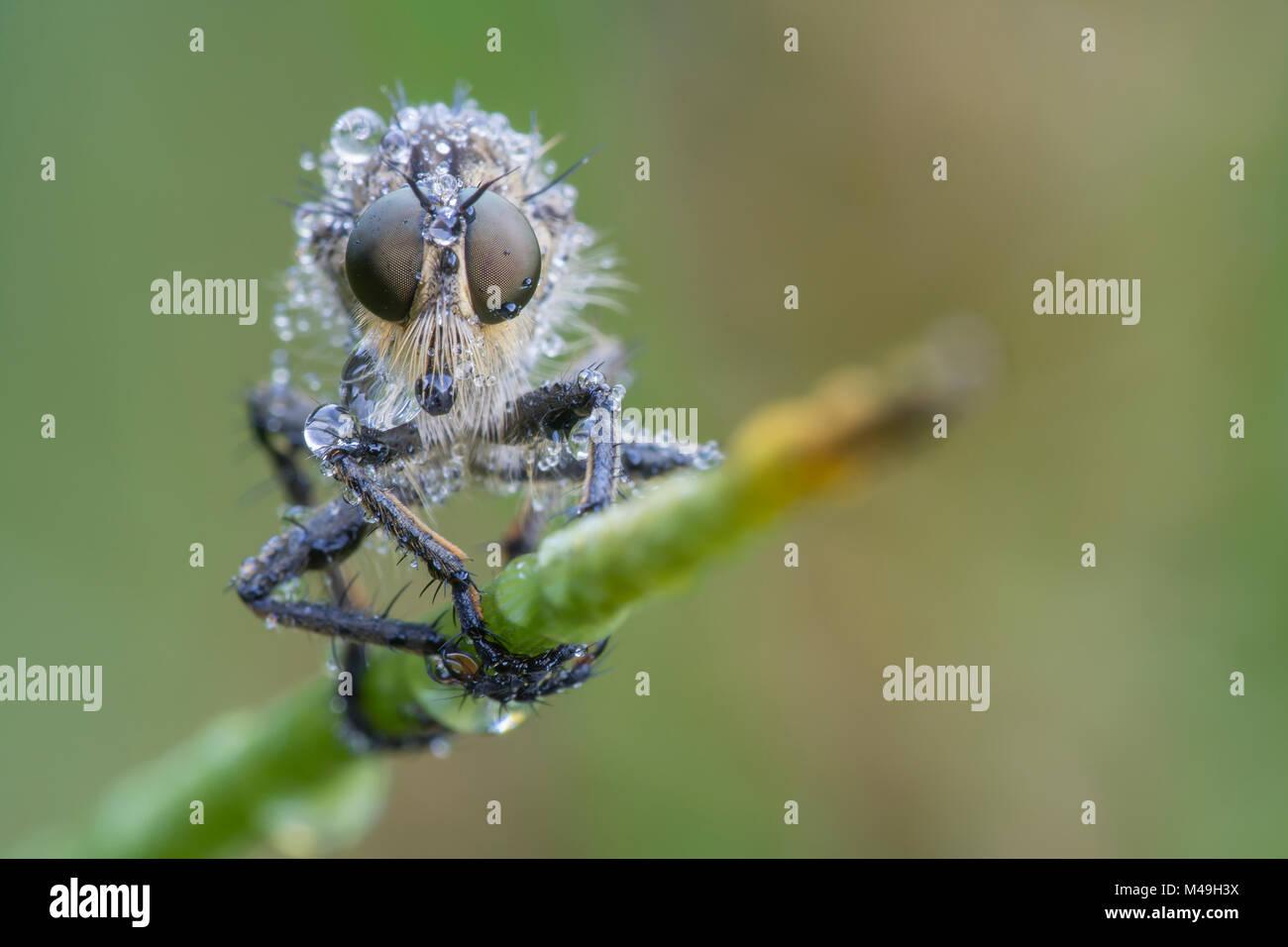 Robber fly (Eutolmus rufibarbis) De Inslag, Brasschaat, Belgium July - Stock Image