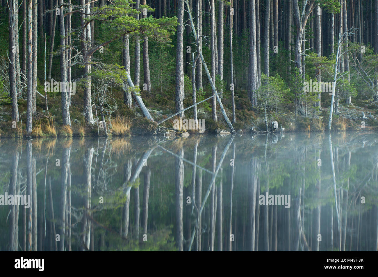 Scots Pine trees (Pinus sylvestris) reflected in loch, Abernethy Forest, Scotland, UK, November. - Stock Image