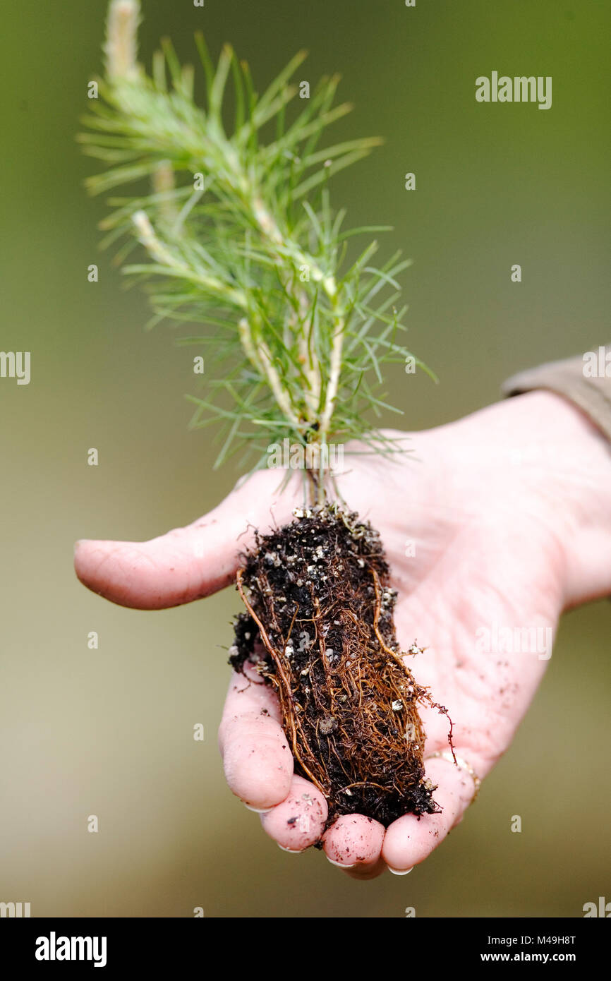 Person holding Scots pine tree (Pinus sylvestris) sapling / seedling  before planting,  Scotland, UK, May. - Stock Image