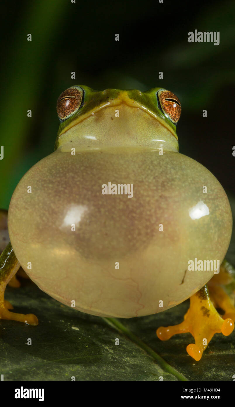 Jayarami Bush frog (Raorchestes jayarami), inflating vocal sac, calling to attract mate, Endemic to Western Ghats. - Stock Image