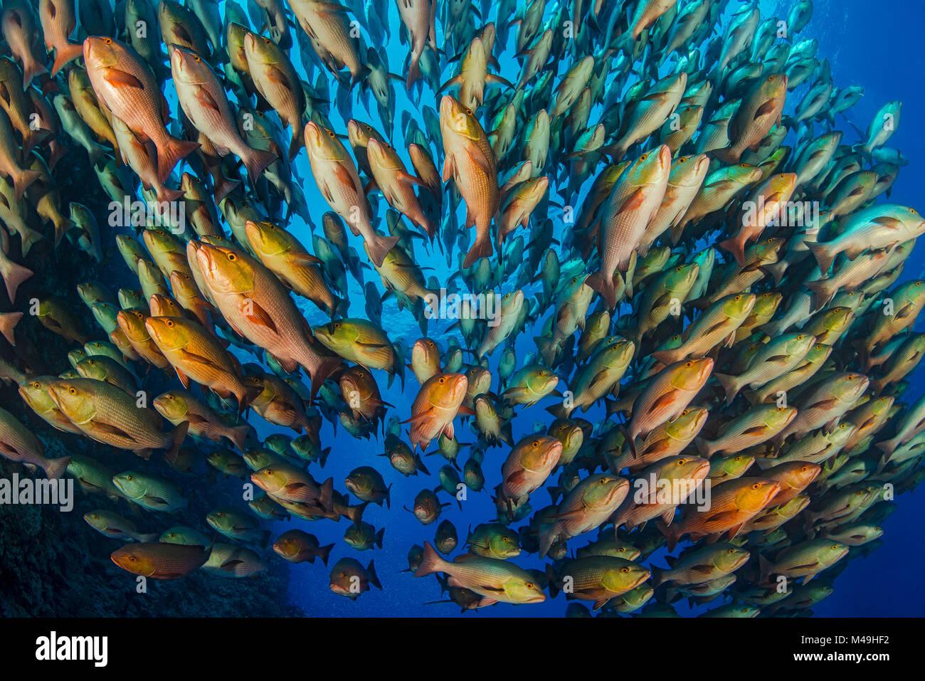 Bohar snapper (Lutjanus bohar) school at Ras Mohammed,  Shark Reef, Ras Mohammed, Sinai, Egypt. Red Sea. - Stock Image
