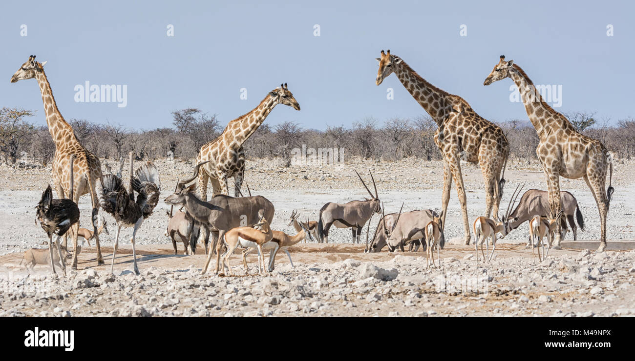 African wildlife at a busy watering hole in the Namibian savanna - Stock Image