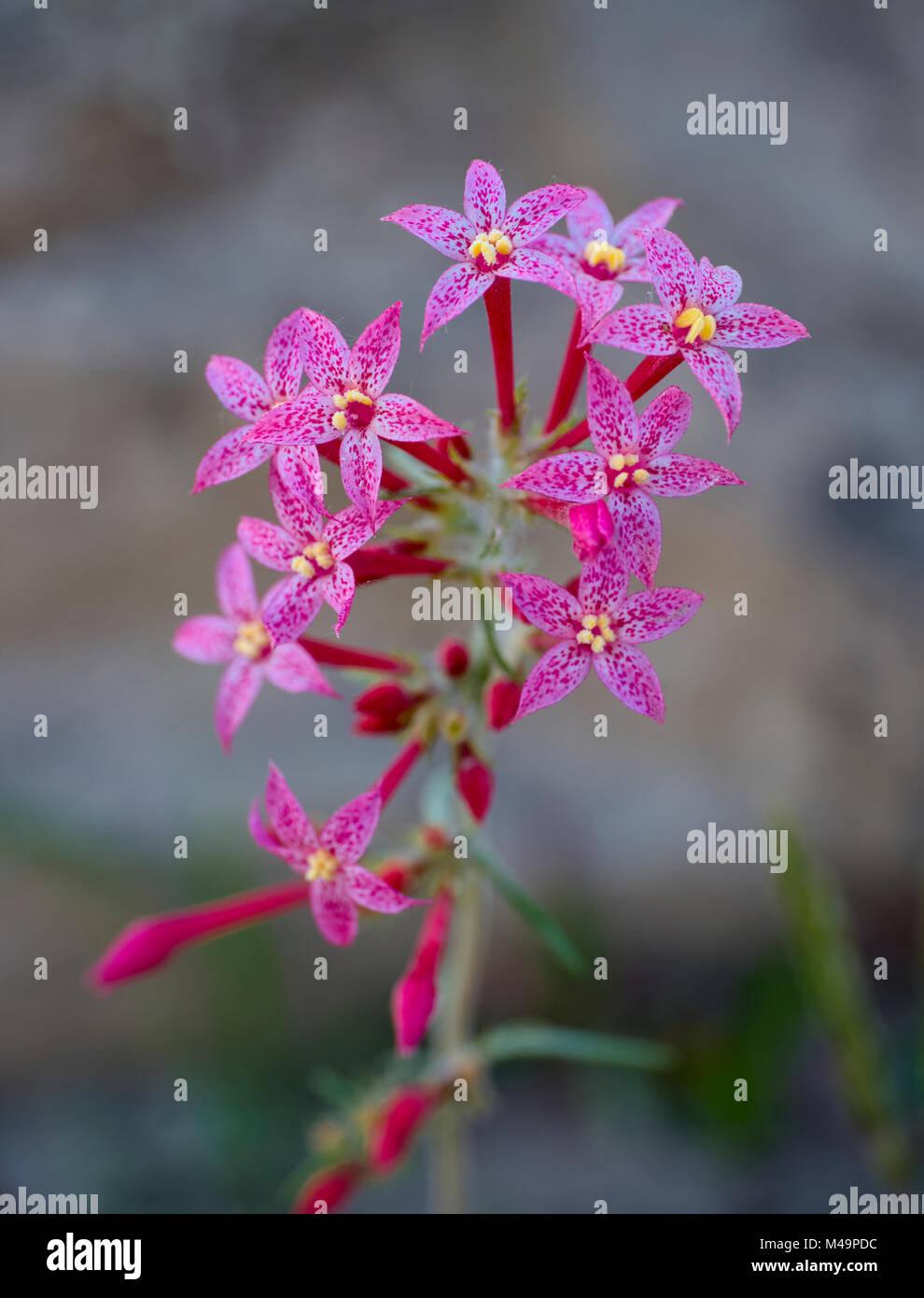 Scarlet Gilia - Stock Image