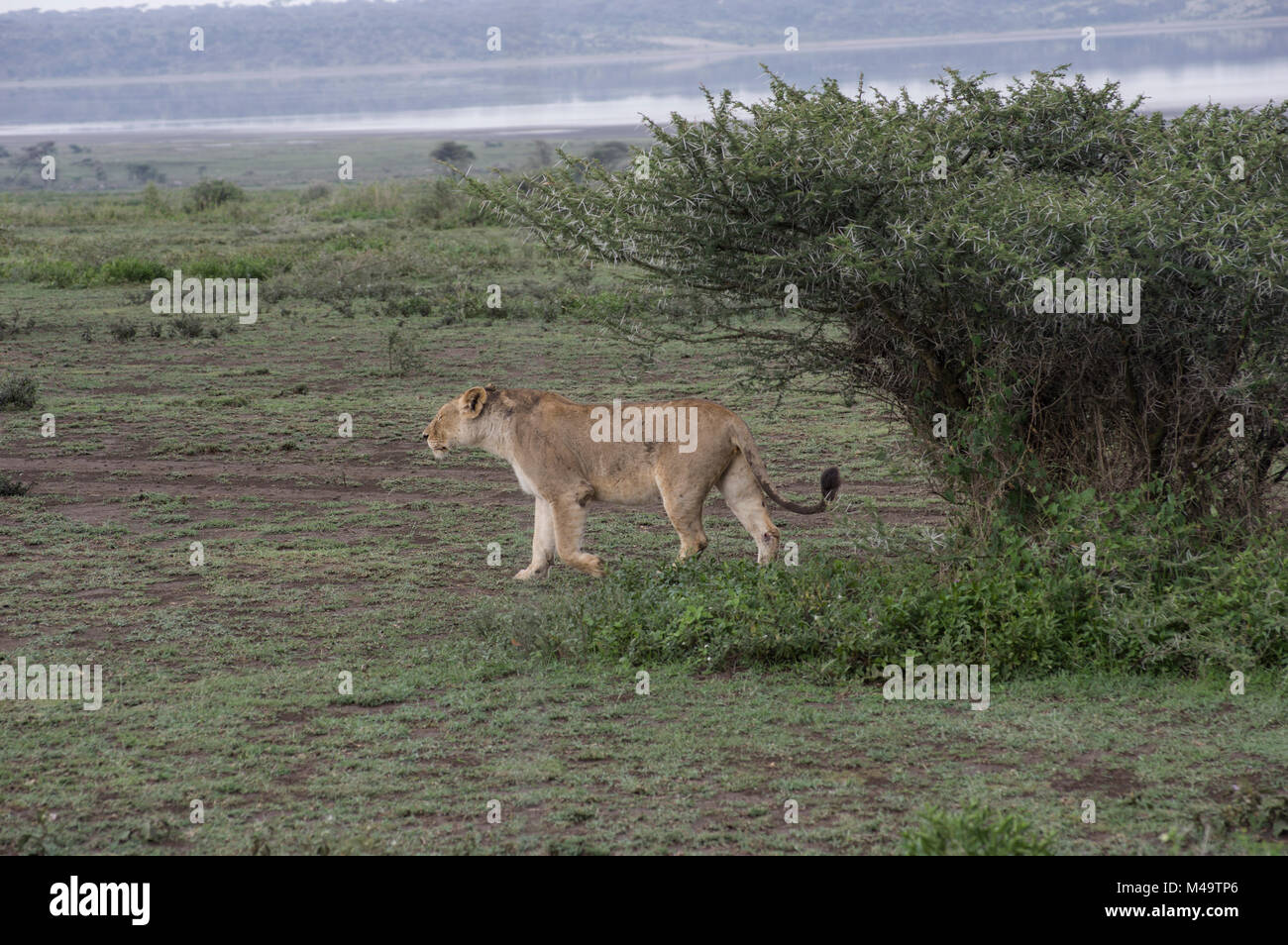 Female lioness walking in the dry grass near the banks of Lake Manyara in the national park in Northern Tanzania - Stock Image