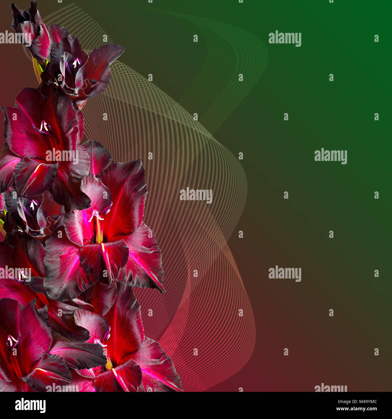 Floral border - maroon gladiolus with velvety petals - Stock Image