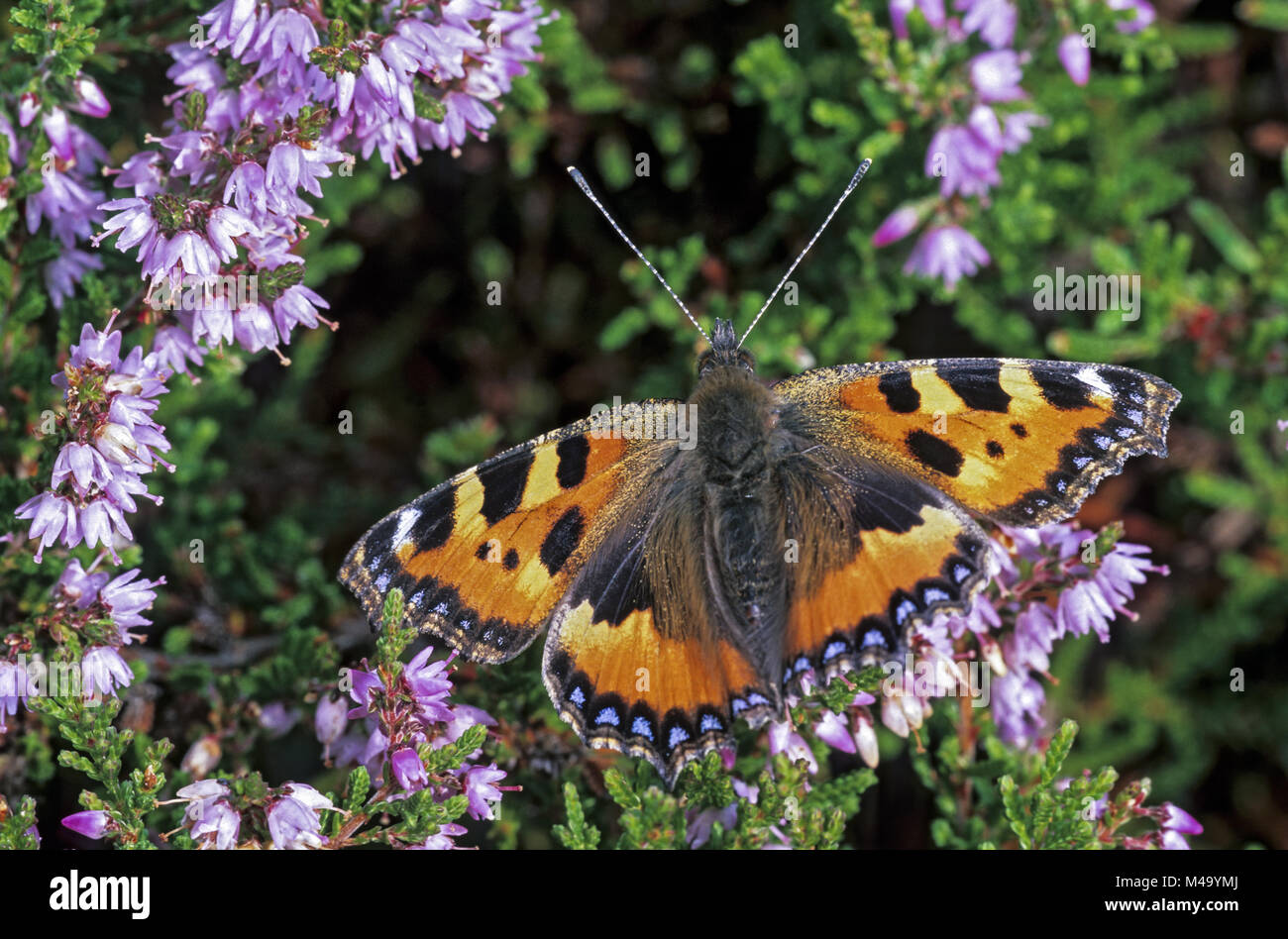 Small Tortoiseshell is the national butterfly of Denmark - Stock Image