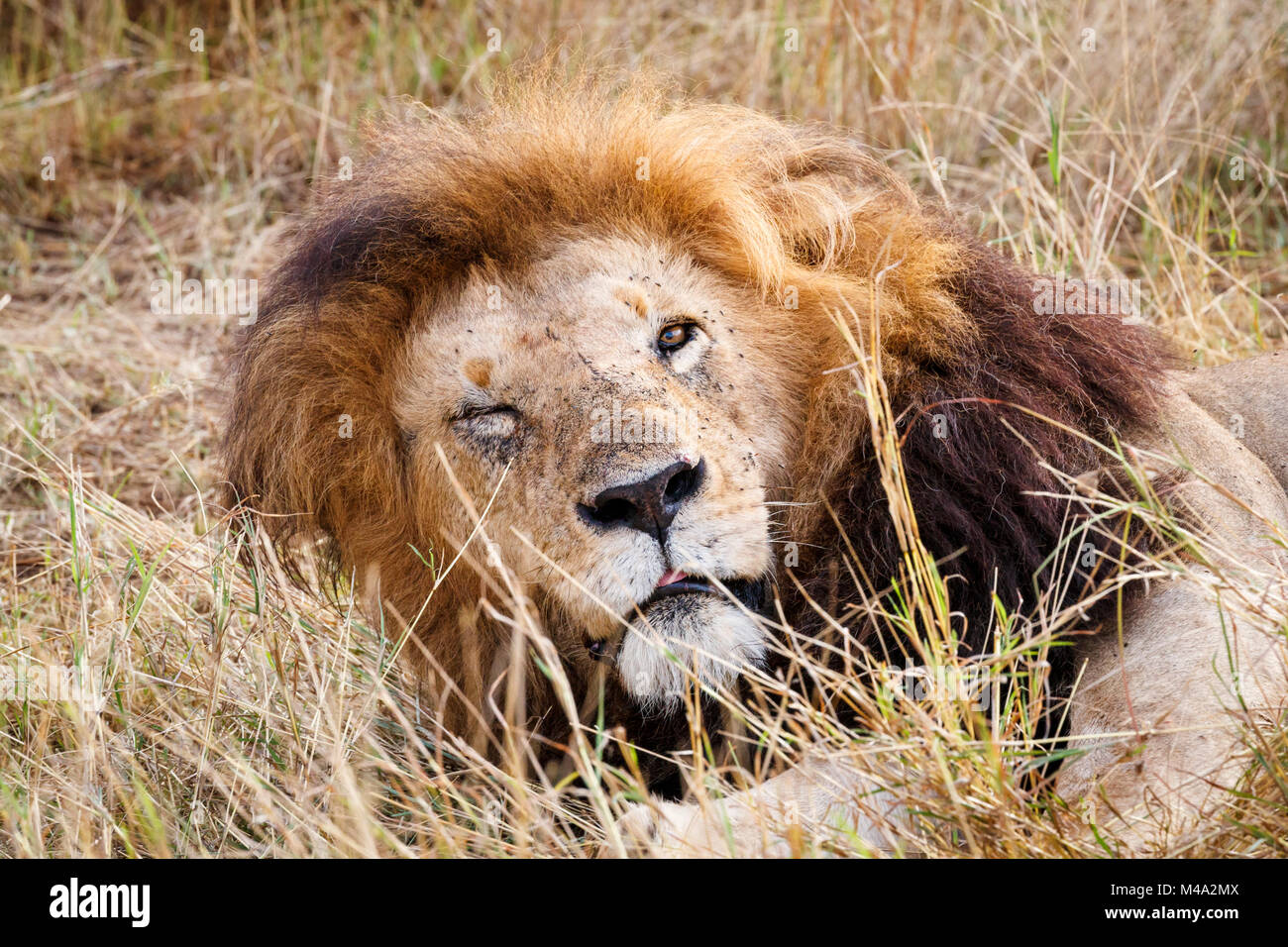 Close up face-on view of the head of sleepy male Mara lion (Panthera leo) dozing in the Masai Mara, Kenya, one eye - Stock Image