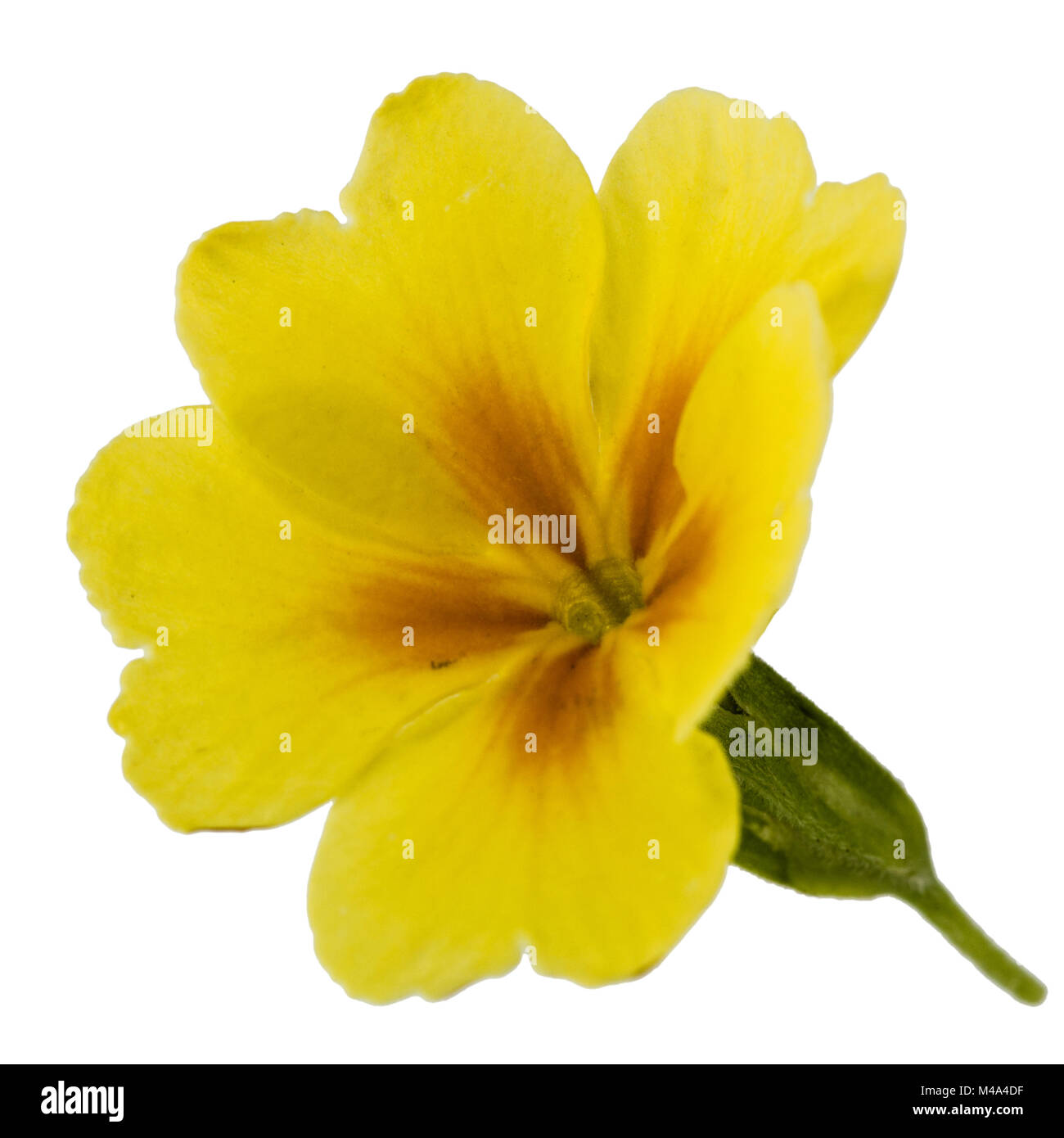 Flower of yellow primrose isolated on white background stock photo flower of yellow primrose isolated on white background mightylinksfo