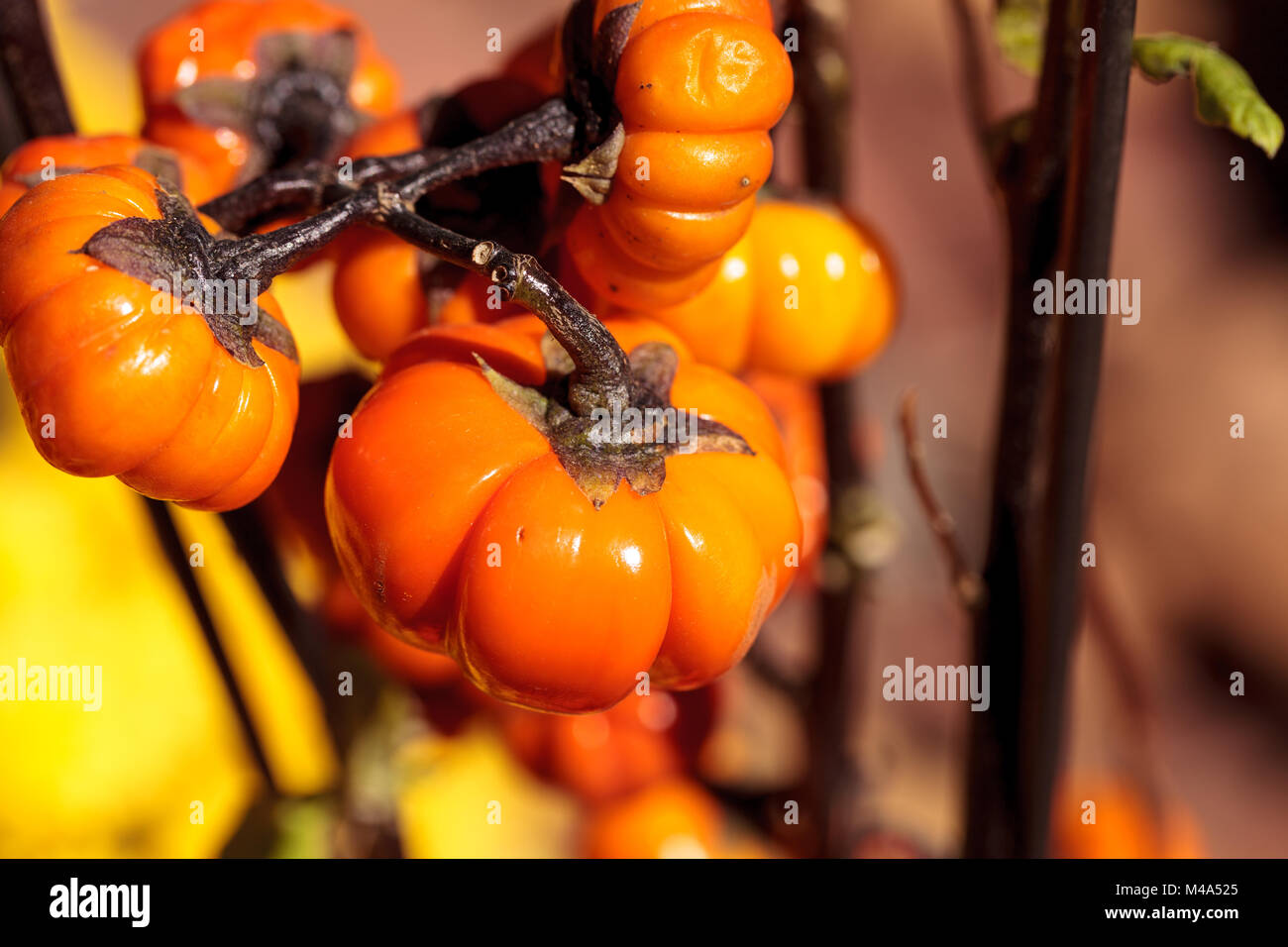 Pumpkin tree scientifically known as Solanum integrifolium - Stock Image