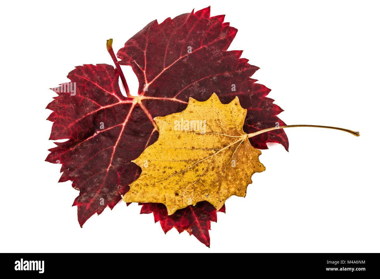 Fallen autumn leafs, isolated on white background Stock Photo