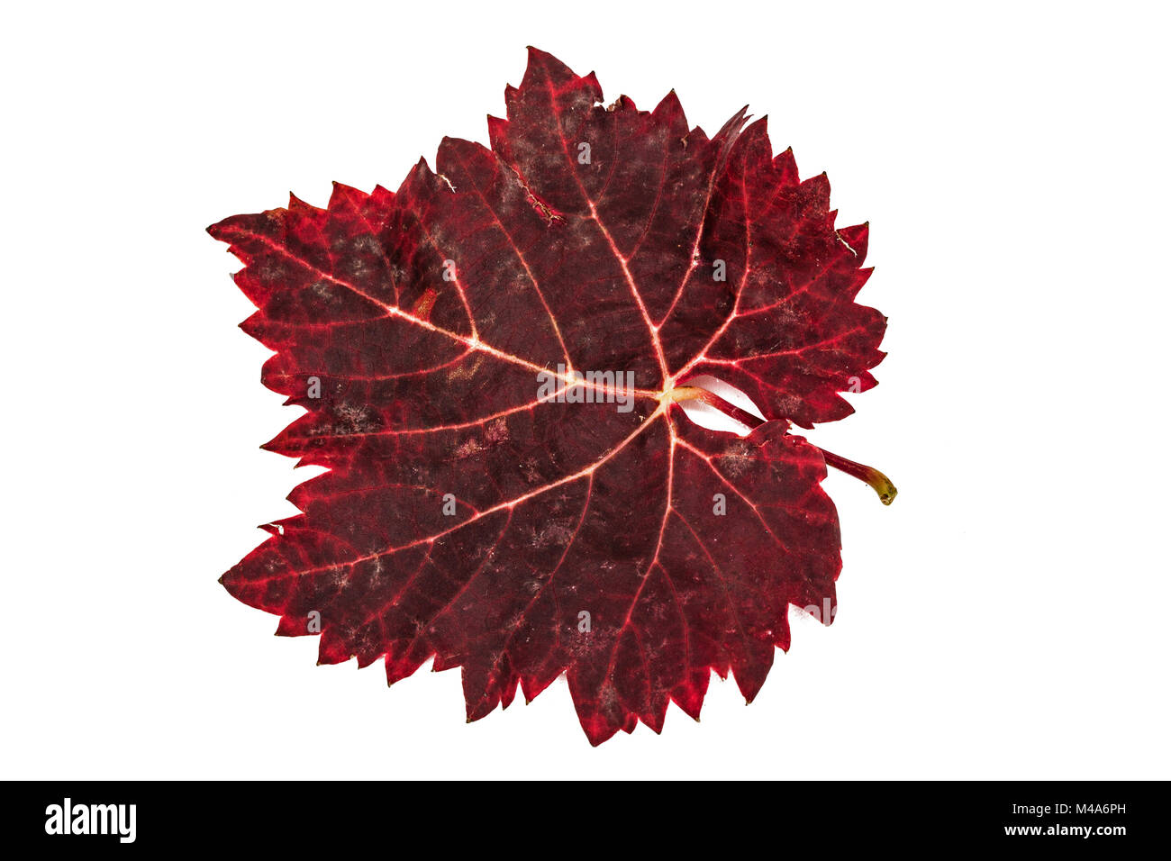 Red the fallen autumn leaf, isolated on white background Stock Photo