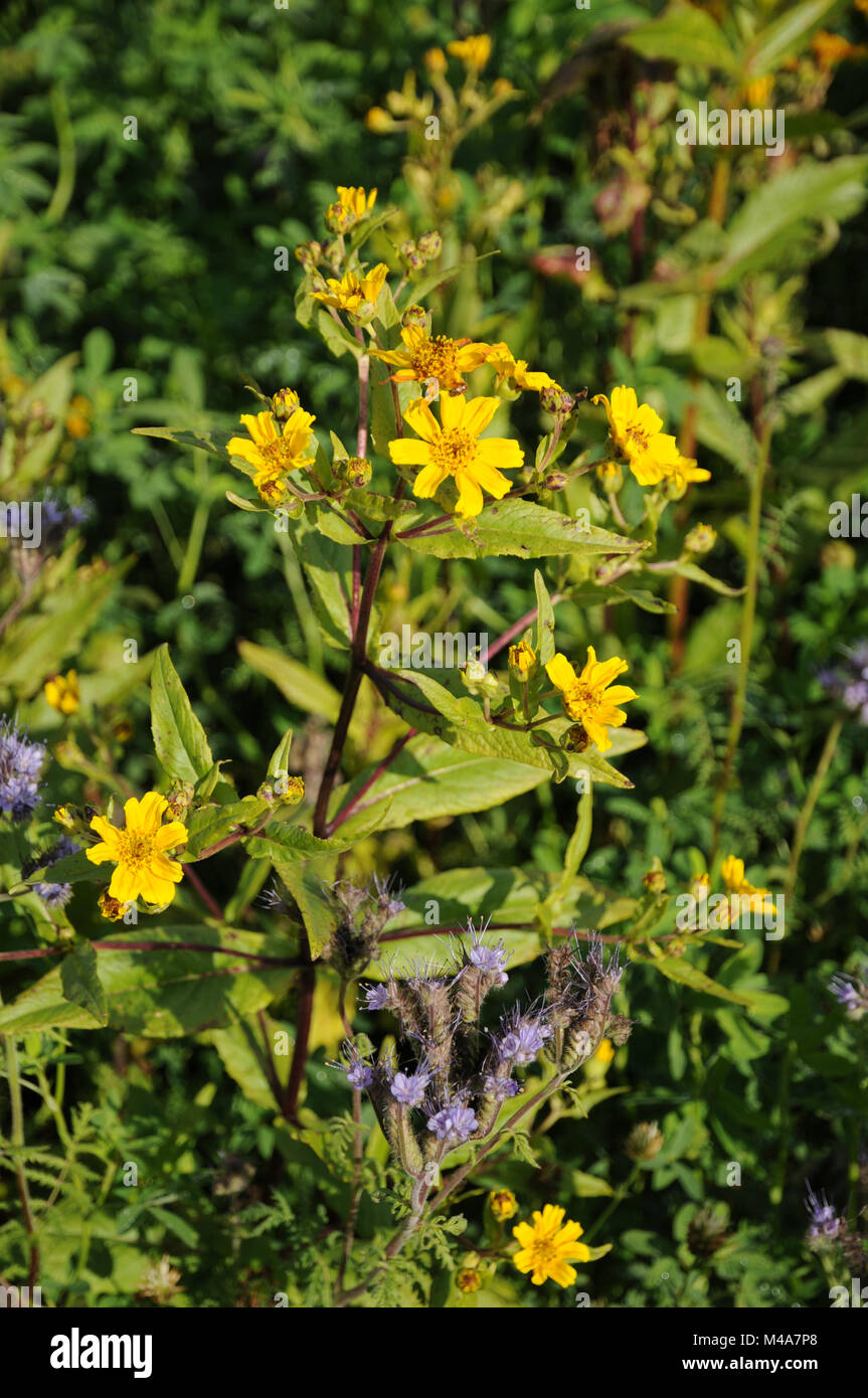 Guizotia abyssinica, Ramtil, Niger seed, green manure Stock Photo