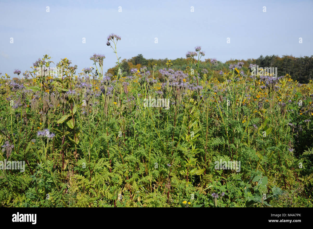 Phacelia tanacetifolia, Scorpion weed, green manure Stock Photo