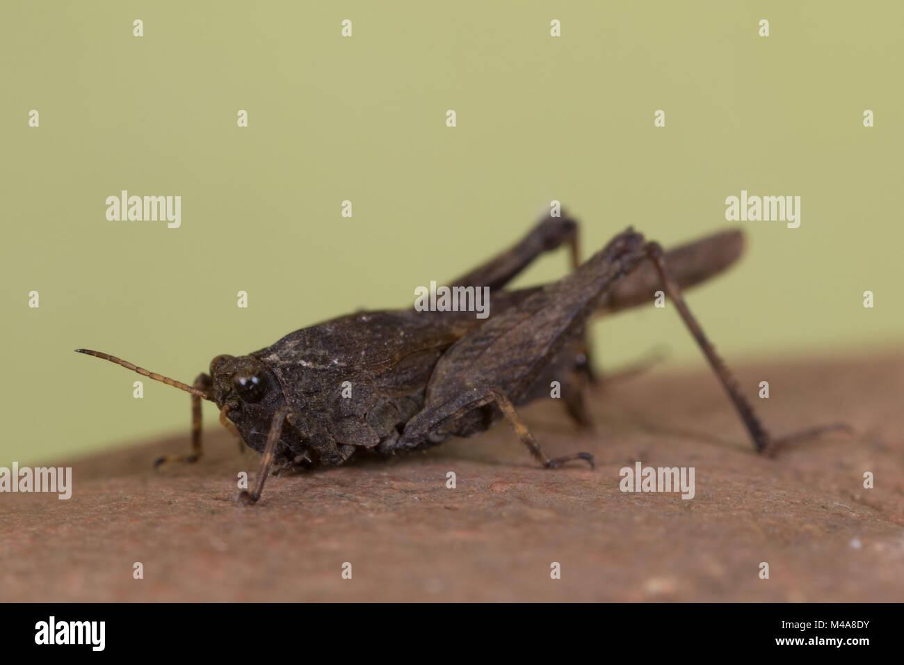 Slender Groundhopper (Tetrix subulata) on a dead leaf - Stock Image