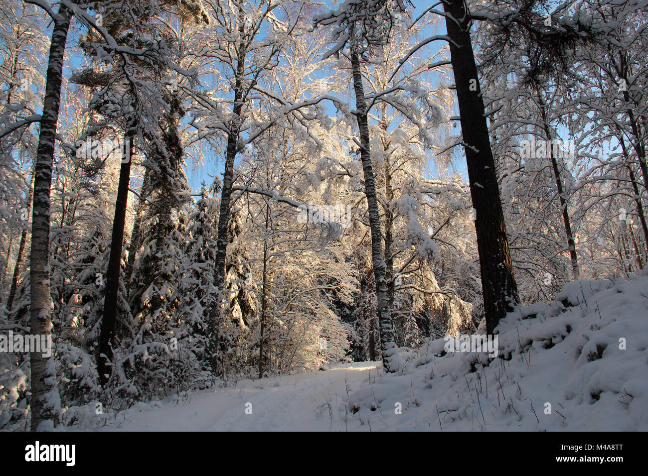 Footpath in a snowy forest on a sunny winter day. - Stock Image