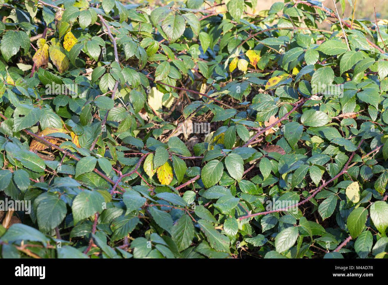Brombeere, Echte Brombeere, Ranke, Ranken, rankend, Brombeerranke, Brombeerranken, Rubus fruticosus agg., Rubus Stock Photo