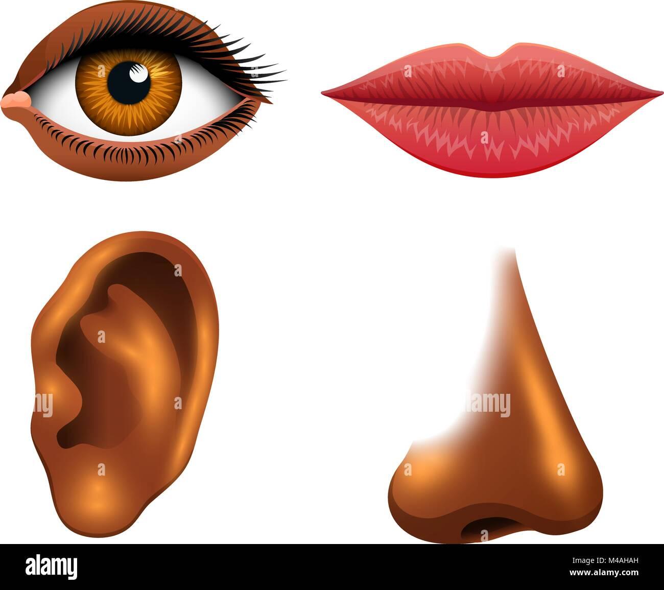 Human biology, sensory organs, anatomy illustration. face detailed ...
